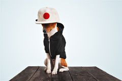 Portrait of a dog in black zippered hoodie. Street fashioned red and white basenji dog in cool black hoodie and wool blank panel cap with red dot on it, sits on Stock Images
