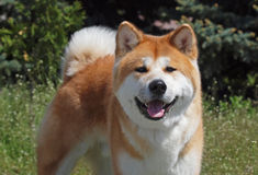 Portrait of dog of breed of Akita-inu Royalty Free Stock Image