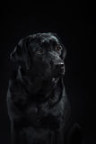 Portrait dog breed black labrador on a studio Royalty Free Stock Photo