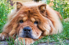 Portrait of a dog breed chow-chow Stock Images