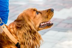 Portrait of a dog breed cocker spaniel, which the owner holds on stock photos