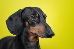 Portrait of a dog breed of dachshund, black and tan,  on a yellow background. Background for your text and design. concept of cani stock image