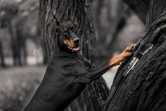Portrait of a dog breed Doberman on a dark wood background stock images