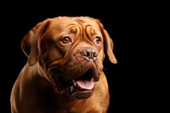 Portrait dog of breed Dogue de Bordeaux isolated on black background Stock Photos