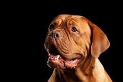 Portrait dog of breed Dogue de Bordeaux isolated on black background Royalty Free Stock Photography