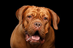 Portrait dog of breed Dogue de Bordeaux isolated on black background Stock Photography