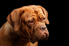 Portrait dog of breed Dogue de Bordeaux isolated on black background Stock Photo