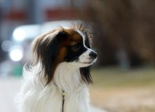 Portrait of a dog breed fall in profile, close-up, soft focus. Cute puppy with hanging ears on blurred background. stock image
