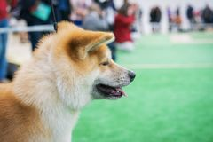 Portrait of a dog breed Japanese Akita before going into the ring at an exhibition of dogs.  royalty free stock image