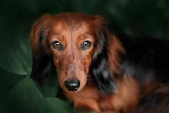 Portrait of dog breed long haired dachshund Stock Photo