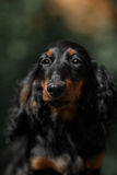 Portrait of dog breed long haired dachshund Royalty Free Stock Image