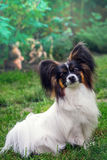 Portrait of a dog of the breed Papillon Royalty Free Stock Photography