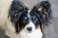 Portrait of a dog breed Papillon. Selective focus Royalty Free Stock Images