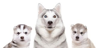 Portrait of a dog breed Siberian Husky with puppies. Isolated on white background royalty free stock photos