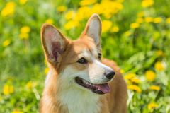 Portrait of a dog breed Welsh Corgi on the background field of d. Beautiful portrait of a Welsh Corgi dog close-up on a background of a field of grass Stock Image
