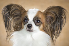 Portrait of dog breeds Papillon close up Stock Photography