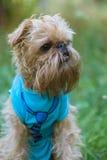 Portrait Dog Brussels Griffon Stock Images