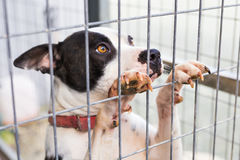Portrait of dog bulldog in a cage. Close up of dog bulldog in a cage Stock Photography