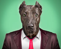 Portrait of a dog in a business suit. On a green background Stock Photos