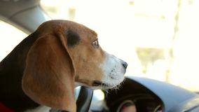 Portrait of a dog in the car. Close-up of a beagle dog in a car in the front seat. Portrait of a dog in the car stock video footage