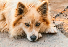 Portrait of a dog. Royalty Free Stock Image
