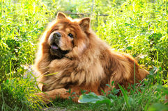Portrait of dog chow-chow Royalty Free Stock Image