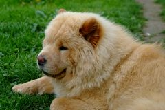 Portrait of dog chow-chow Stock Photo