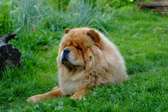 Portrait of dog chow-chow Stock Images
