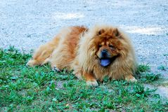Portrait of dog chow-chow Dina on nature background Royalty Free Stock Photography
