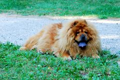 Portrait of dog chow-chow Dina on nature background Royalty Free Stock Photos