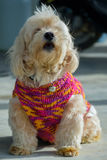 Portrait of dog. Closeup picture of the dog wearing sweater squatting on the floor stock images
