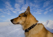 Portrait of a dog collar in profile Stock Photography