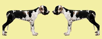 Portrait of a dog on a colored background. Funny portrait of a dog. Two dogs look at each other. Isolated image stock images