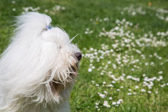 Portrait of a dog: Coton de Tulear. Stock Photo