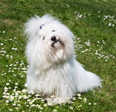 Portrait of a dog: Coton de Tulear. Royalty Free Stock Images
