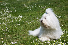 Portrait of a dog: Coton de Tulear. Stock Photos
