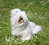 Portrait of a dog: Coton de Tulear. Royalty Free Stock Image