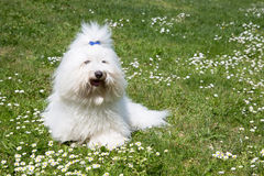 Portrait of a dog: Coton de Tulear. Royalty Free Stock Photo