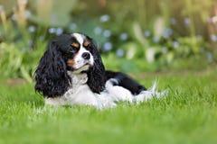 Portrait of a dog. Cute dog, cavalier spaniel on the grass Stock Photos