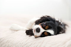 Portrait of a dog. Cute dog lying on the bed and resting Stock Photos