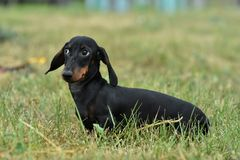 Portrait of a dog dachshund black tan on grass royalty free stock photo
