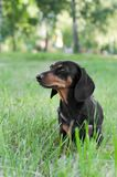 Portrait of a dog dachshund black tan, standing on grass. Portrait of a dog dachshund black tan, standing in full length on grass stock photos