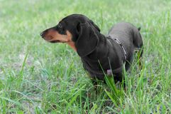 Portrait of a dog dachshund black tan, standing on grass. Portrait of a dog dachshund black tan, standing in full length on grass stock photography