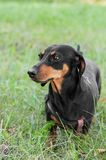Portrait of a dog dachshund black tan, standing on grass. Portrait of a dog dachshund black tan, standing in full length on grass royalty free stock photo