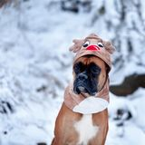 Portrait of dog in deer costume against background of Christmas trees. Royalty Free Stock Photography