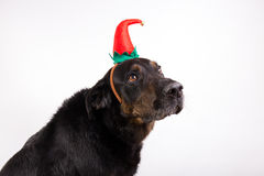 Portrait of a dog in disguise. Against White background Stock Image