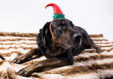 Portrait of a dog in disguise. Against White background Stock Images