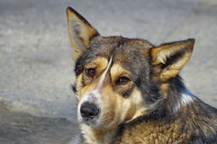 Portrait of dog. Expressive look royalty free stock photography