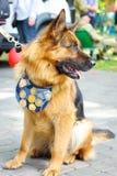 Portrait of a dog of the East European Shepherd breed