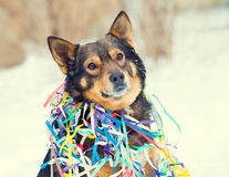 Portrait of dog entangled in colorful streamer Royalty Free Stock Photos